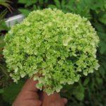 緑色のアジサイは危険?葉化病は人体や他の植物に悪影響?
