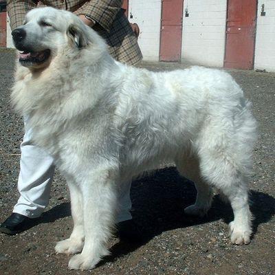登場する犬種は「グレートピレニーズ」