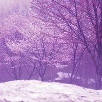 桜隠しとは?意味や由来、気象状況を解説!雪が降ること?