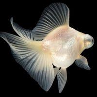 【カロリーメイトCM】空飛ぶ魚の名前は?実在する魚がモデルに?