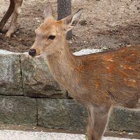 「奈良公園でシカにエサやり」がなぜ6億回再生?理由を調査!